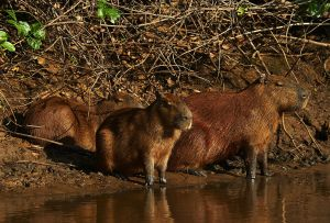Capybara Mom and Kids Pantanal.jpg