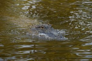 Happy Gator Louisiana.jpg